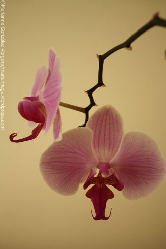 Mi beautiful orchid, at my home.